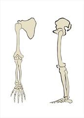 esqueleto de brazo y pierna