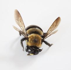 Injured bee