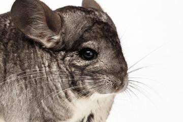 Closeup Chinchilla in Profile View on white