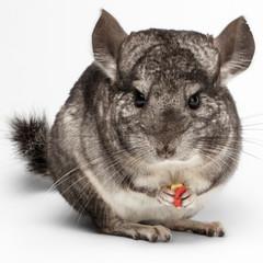 Close-up Chinchilla Eating Peanuts on white
