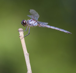 Light blue dragonfly on a tree