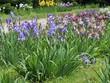 Постер, плакат: Цветущие ирисы в ботаническом саду г Варна Болгария