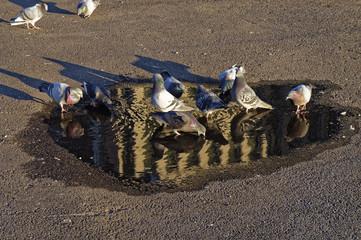 Taube trinkt aus einer Pfütze 03