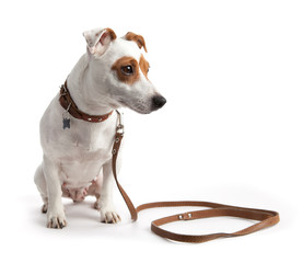 Jack Russell terrier dog sitting on a collar and leash
