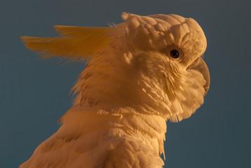 Cockatoo sunrise portrait