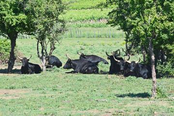 taureaux camarguais au repos
