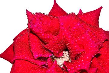 Red rose on a white background (macro )