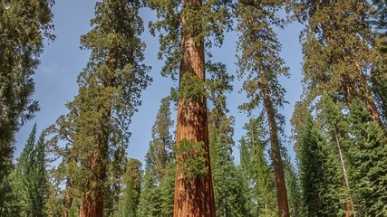 Yosemite National Park Hyperlapse,Timelapse Giant Sequoia Tree