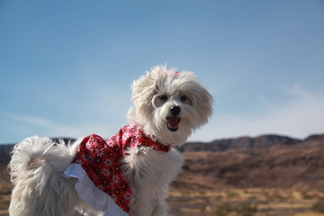 White Dog in a Dress