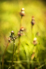 dandelion, green grass background and sun flare