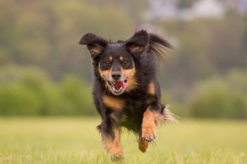 Ein Hund rennt voller Freude über eine Wiese
