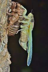 New-born cicada 1