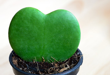 green heart cactus leaf in the pot