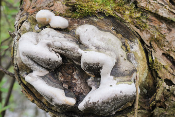 the build-up of mushrooms on wood cut down a tree