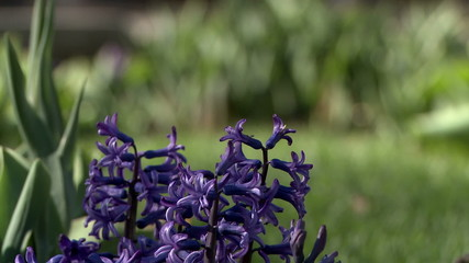 View of purple hyacinth on flowerbed