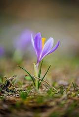 Macro of a beautiful crocus in spring time