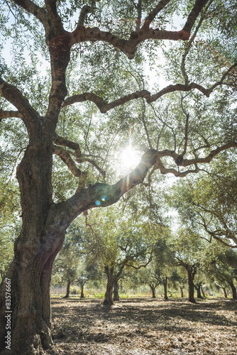 Tuinposter Olijfboom Olive trees and sun rays