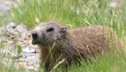 Marmotte qui mange