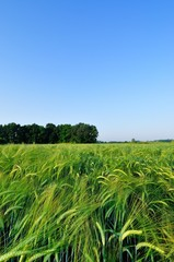 Barley field at morning