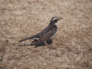 Dusky thrush on the lawn (芝生上のツグミ)