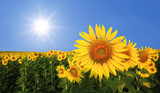 beautiful sunflower in the field