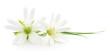 Obrazy na płótnie, fototapety, zdjęcia, fotoobrazy drukowane : White flowers