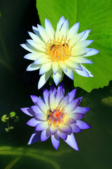 Close-up of waterlily on tropical garden