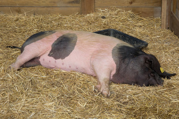 Lying sow pink and black color inside