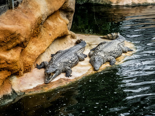 Crocodiles et alligators