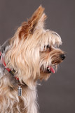 Yorkshire Terrier profile - 83599857