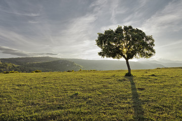 Montaña palentina. Aguilar de Campoo, arbol solitario.
