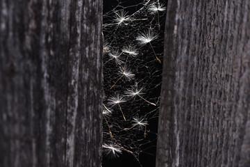 Dandelion Seeds. Dandelion Seeds in Spider-web.
