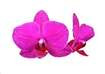 Purple orchid flower, isolated on white background