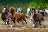 Arabian horses gallop - 83606818