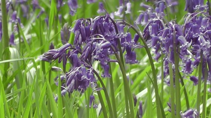 Blue Bluebell Flowers in Spring sunshine and Breeze