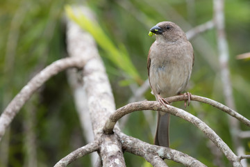 Southern Grey-Headed Sparrow (Passer diffusus) with a caterpilla