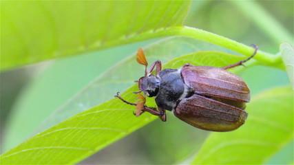 Maybug on leaf
