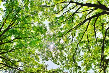 新緑の林と太陽
