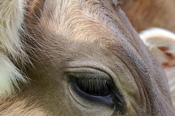 Das Auge und die Augenwimpern einer Kuh