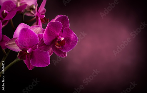 Phalaenopsis in dark blurred background