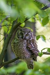 pygmy owl - Glaucidium passerinum