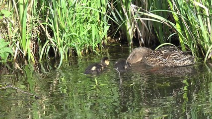 duck with ducklings Swimming on the lake