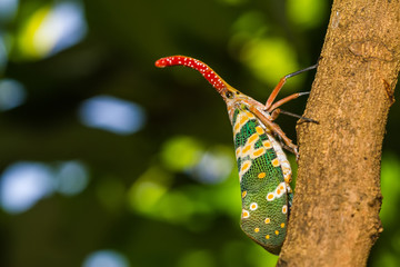 lanternfly, the insect on tree in tropical forests