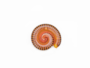millipede tropical in isolated on white background