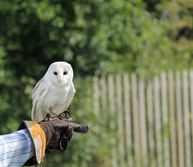 A Beautiful White Barn Owl on a Thick Leather Glove.