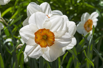 Close-up  of a white narcissus