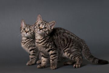 Two British Shorthair kittens.