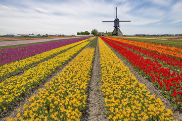 Tulips bulb farm against a windmill in Lisse, Netherlands