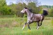 Grey arabian horse run gallop in field