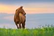 Obrazy na płótnie, fototapety, zdjęcia, fotoobrazy drukowane : Beautiful red mare on green pasture against sunset sky